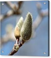 Magnolia Buds Acrylic Print