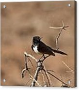 Willy Wagtail V7 Acrylic Print