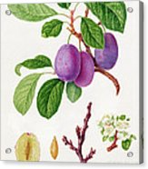 Wilmot's Early Violet Plum Acrylic Print by William Hooker