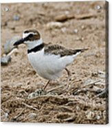 Wilsons Plover At Nest Acrylic Print
