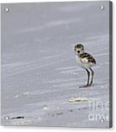 Wilson's Plover Chick Photo Acrylic Print