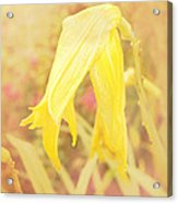 Wilted Yellow Lily In The Dew Acrylic Print