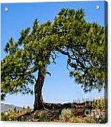 Lonesome Pine Tree Acrylic Print