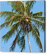 Windblown Coconut Palm Acrylic Print