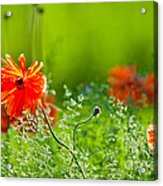 Windblown Poppies Acrylic Print