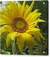 Windblown Sunflower Two Acrylic Print
