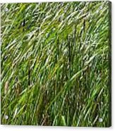 Windswept Cattails Acrylic Print