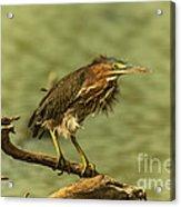 Windy Morn Green Heron Acrylic Print