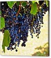 Wine Grapes Acrylic Print by Kristina Deane