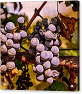 Wine Grapes On The Vine Acrylic Print