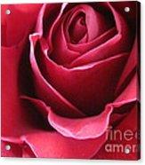 Wine Rose 6 Acrylic Print