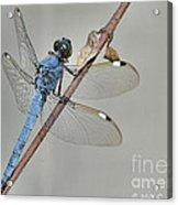Wing Man Acrylic Print
