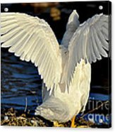 Wings Of A White Duck Acrylic Print