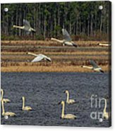 Wings Over Water 2 Acrylic Print