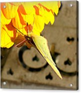 Wings Together Proboscis Out Acrylic Print