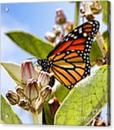 Wings Up Monarch Butterfly By Diana Sainz Acrylic Print