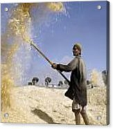 Winnowing Wheat In Iran Acrylic Print