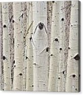 Winter Aspen Tree Forest Portrait Acrylic Print