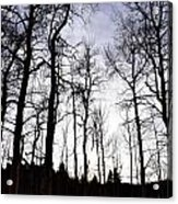 Winter Aspens Acrylic Print