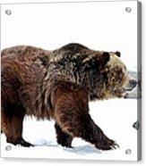 Winter Bear Walk Acrylic Print