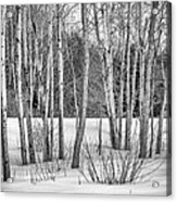 Winter Birches Acrylic Print