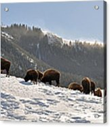 Winter Bison Herd In Yellowstone Acrylic Print