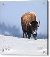 Winter Bison Acrylic Print
