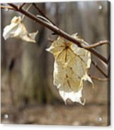 Winter Bleached Leaves Acrylic Print