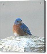 Winter Bluebird Acrylic Print