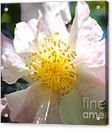 Winter Camellia Acrylic Print