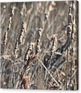 Winter Cattail Abstract Acrylic Print