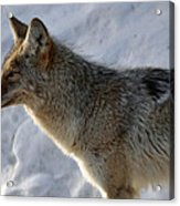 Winter Coyote In Yellowstone Acrylic Print by Bruce Gourley