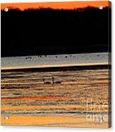 Winter Dawn Swans Acrylic Print