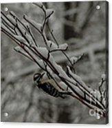 Winter Downy Acrylic Print