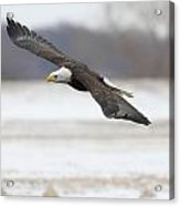 Winter Eagle Acrylic Print