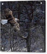 Winter Eagle Flight Acrylic Print