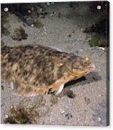 Winter Flounder Acrylic Print
