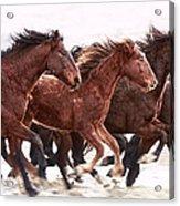 Winter Hardened Wild Horses Acrylic Print