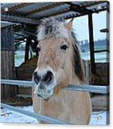 Winter Horse Acrylic Print