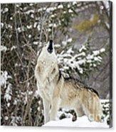 Winter Howl Acrylic Print