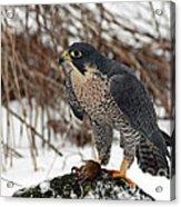 Winter Hunt Peregrine Falcon In The Snow Acrylic Print