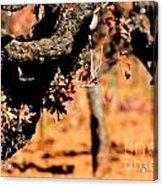 Winter In The Vineyard Acrylic Print