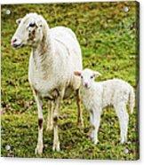 Winter Lamb And Ewe Acrylic Print