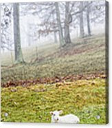 Winter Lamb Foggy Day Acrylic Print