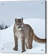 Winter Mountain Lion  Acrylic Print by Sandra Bronstein