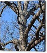 Winter Oak 2014 Acrylic Print