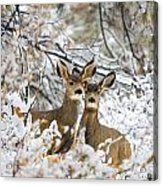 Winter Pair Acrylic Print