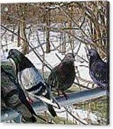 Winter Pigeon Party Acrylic Print