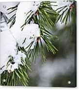 Winter Pine Branches Acrylic Print