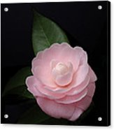 Winter Pink Camellia Acrylic Print